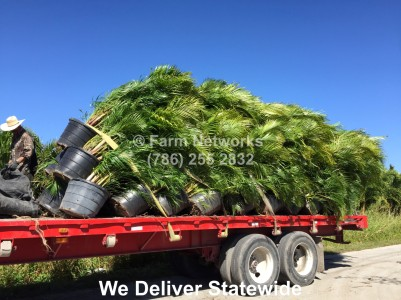 15 Gallon Areca Palm-Naples, FL