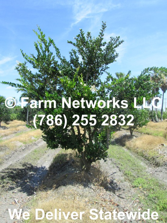 15 Gallon Ligustrum Trees