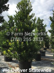 15-Gallon-Podocarpus-Broward