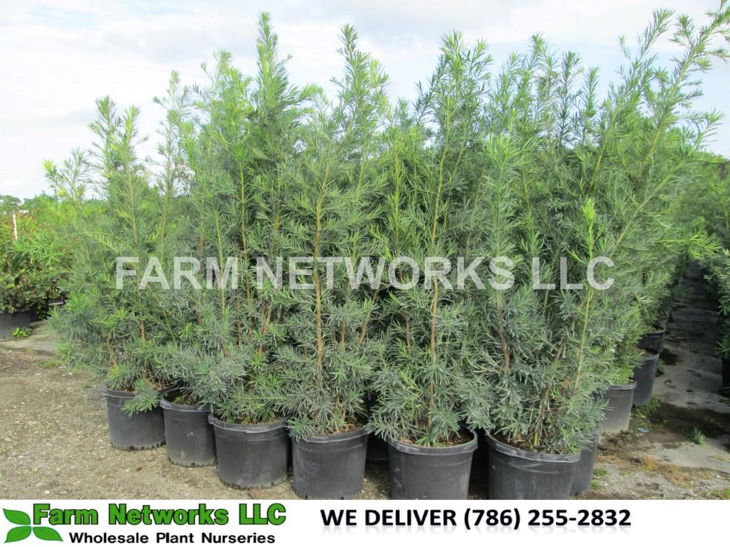 15 gallon-podocarpus-Nursery