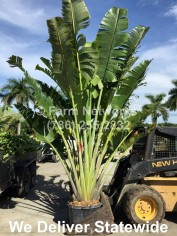 15 Gallon Traveler Palm