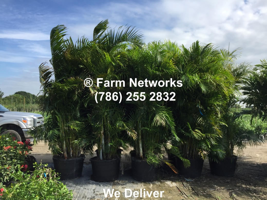 25 Gallon-Areca Palm for Sale