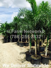 25 Gallon Foxtail Palm Trees
