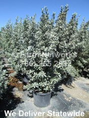 25 Gallon Silver Buttonwood