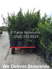 25 Gallon South Florida Podocarpus