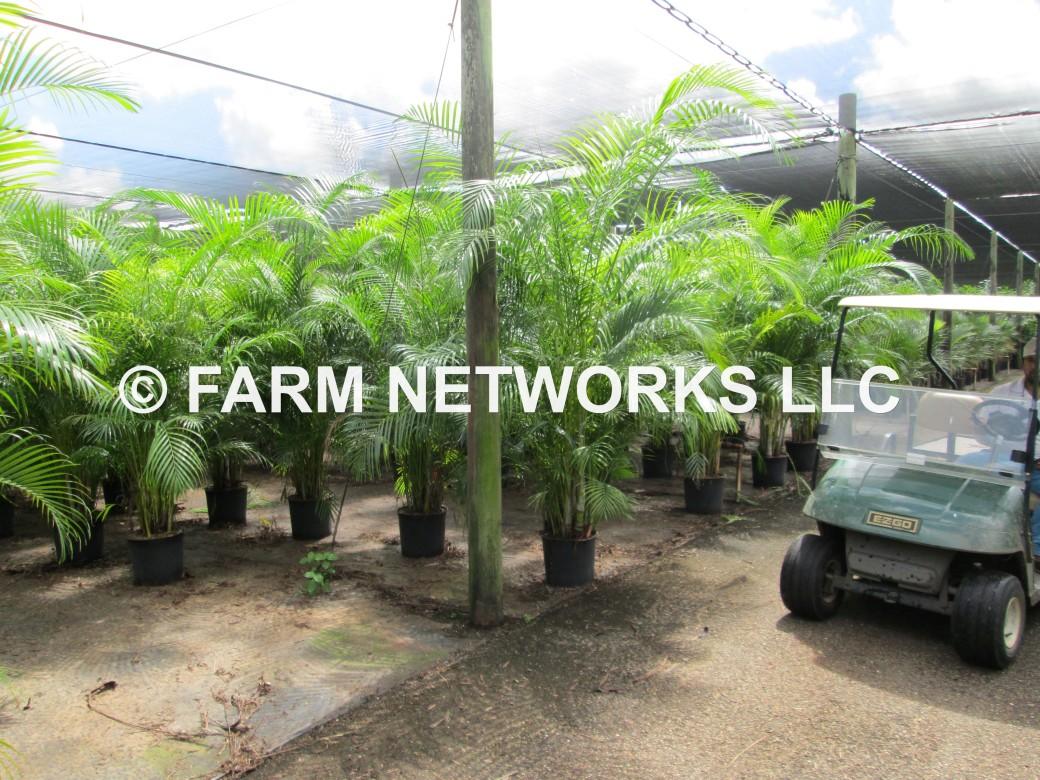 3 Gallon-Areca Palm for Sale