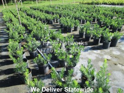 3 Gallon Dwarf Podocarpus