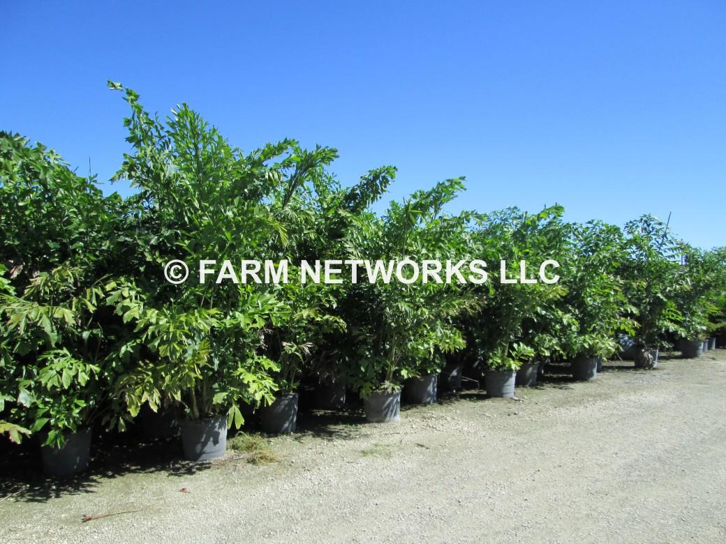 15 Gallon Fishtail Palm,