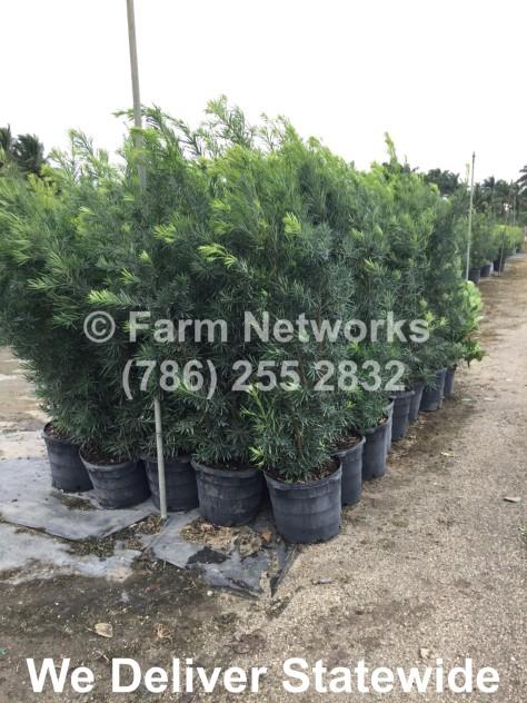5-Gallon-Podocarpus