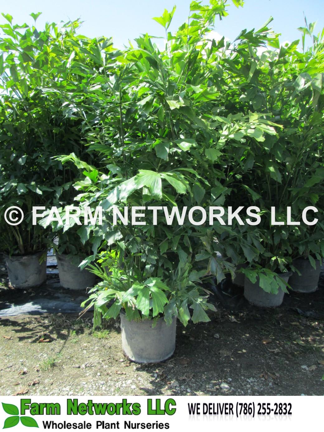 7 Gallon-Fishtail Palm Trees for Sale