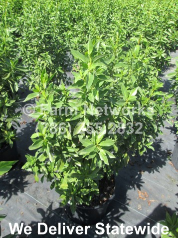 7 Gallon Green Buttonwood