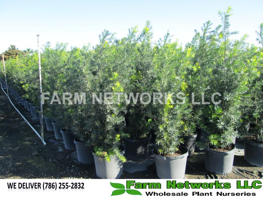7 Gallon-Podocarpus Hedge