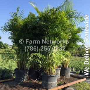 Areca Palm for Sale-Broward