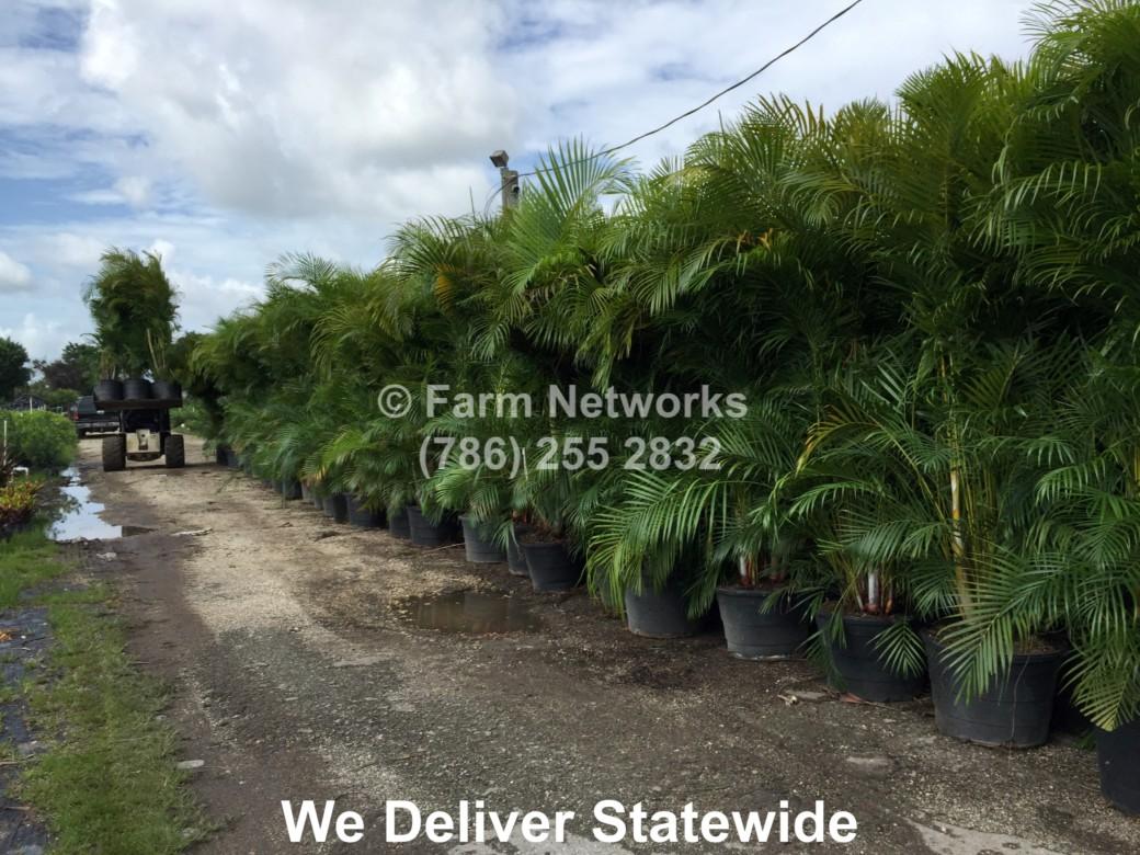 Areca Palm for Sale-Jupiter, FL