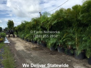 Areca Palm for Sale-Jupiter, FL