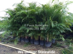 Areca Palm for Sale-Miami