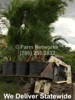 Areca Palm for Sale-Naples,FL