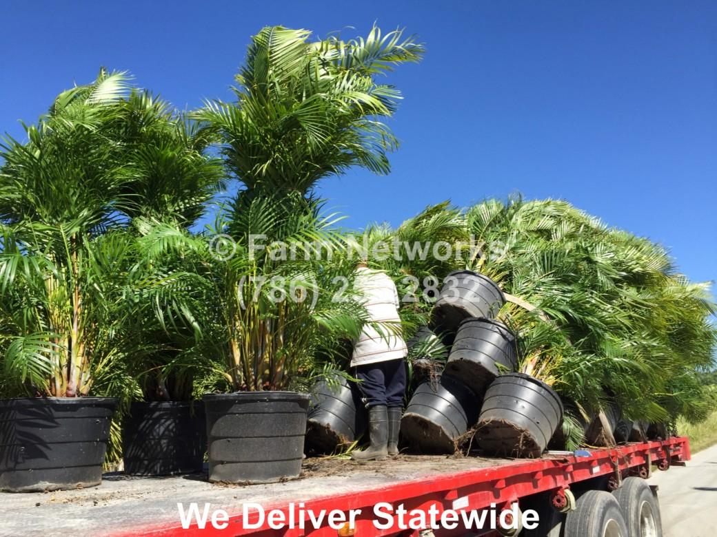 Areca Palm for Sale-Palm Beach