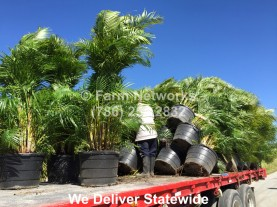Areca Palm for Sale-Palm Beach