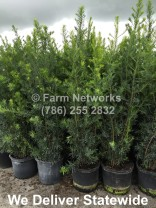Best Price on Podocarpus