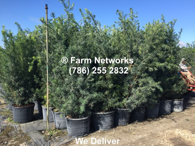 Best Prices on 15 Gallon Podocarpus