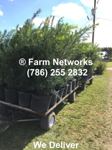 Best Prices on 7 Gallon Podocarpus