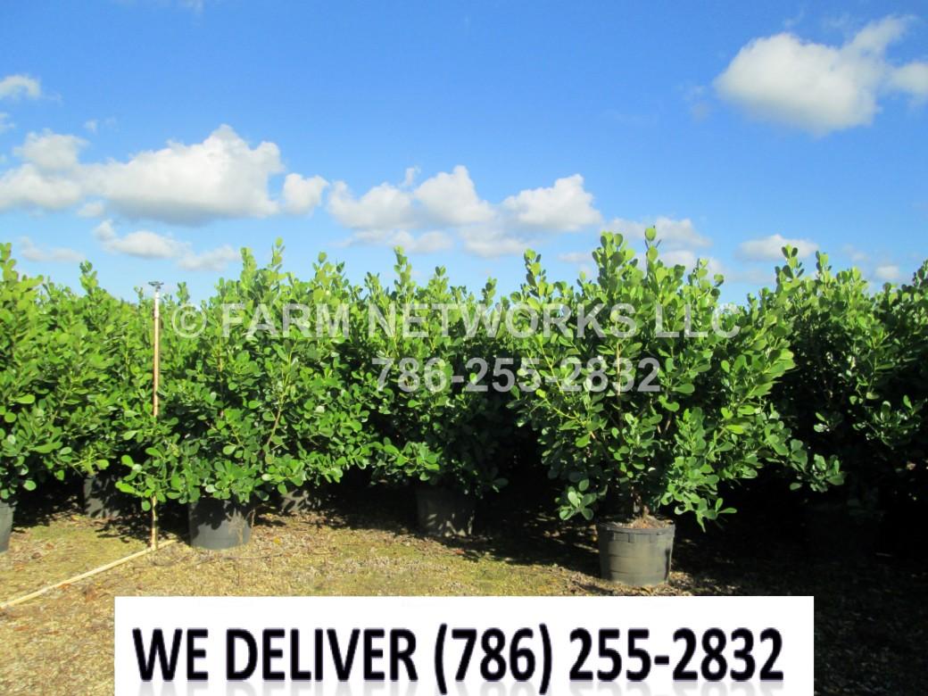 Bonita Springs, FL-Clusia Plant Nursery