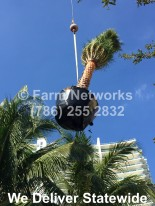 Broward Nurseries, Sylvester Palms