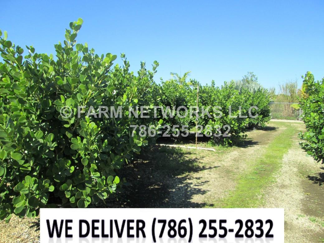 Clusia for Sale-Broward,FL