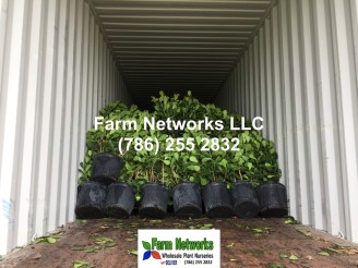 Clusia Hedge Wholesale