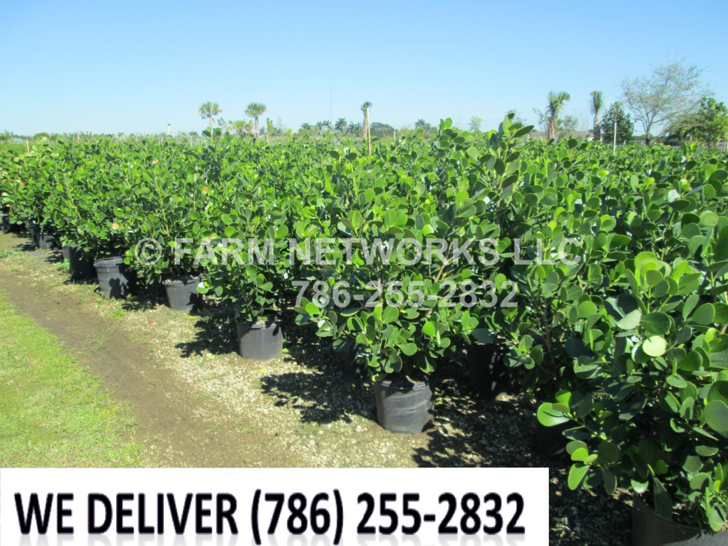 Clusia Plant-Privacy-Fort Myers,FL