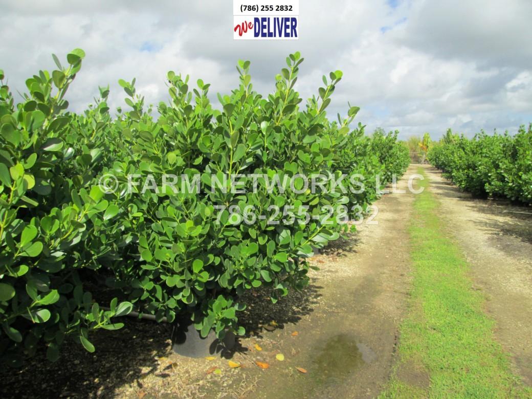 Clusia Plants-Privacy-Florida