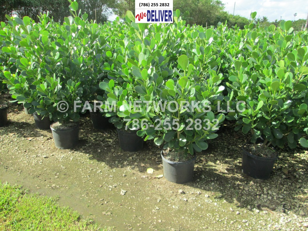 Clusia Plants-Privacy-Hollywood