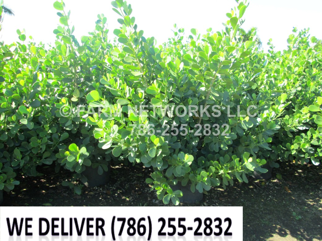 Clusia Plants-Privacy-Miami Shores