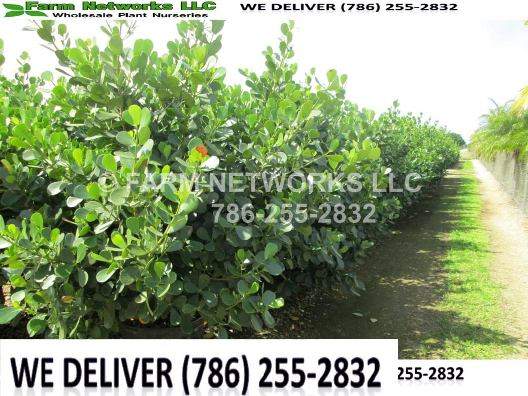 Clusia Plants-Privacy-North Miami
