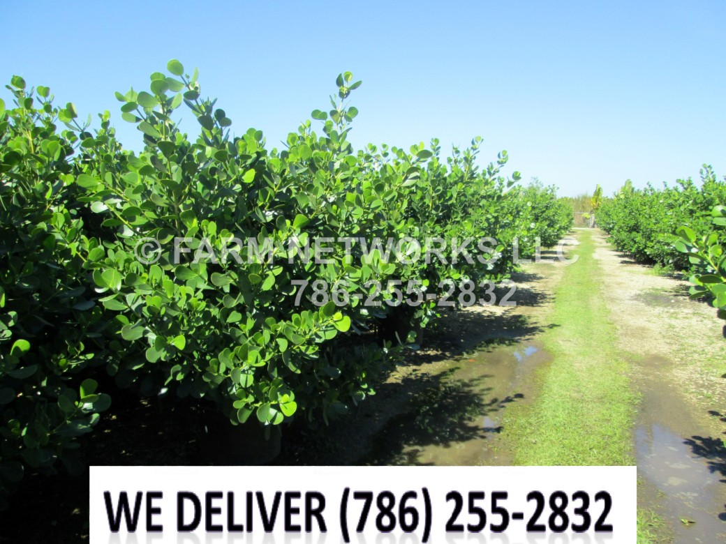 Estero, FL-Clusia Plant Nursery
