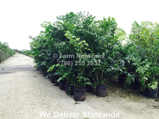 Fishtail Palm Trees-Nursery