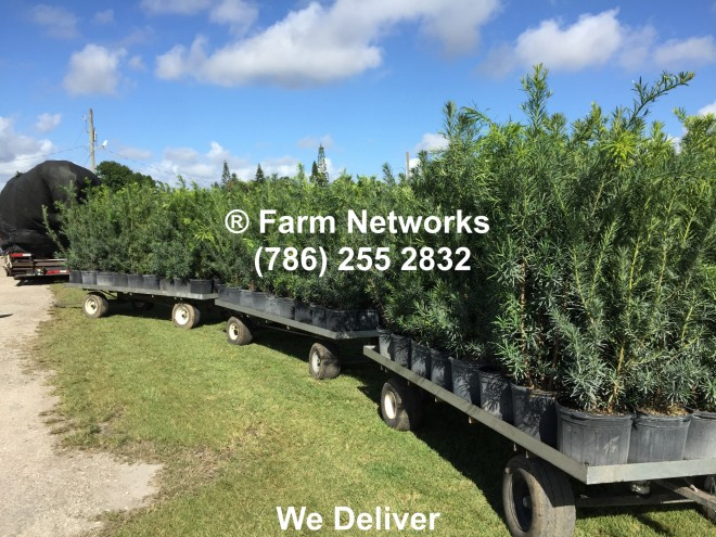 Florida Podocarpus Hedges