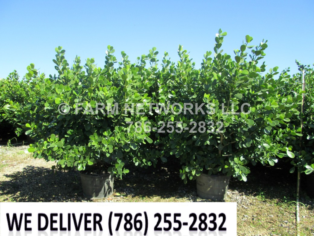 Hollywood Clusia Plant Nursery
