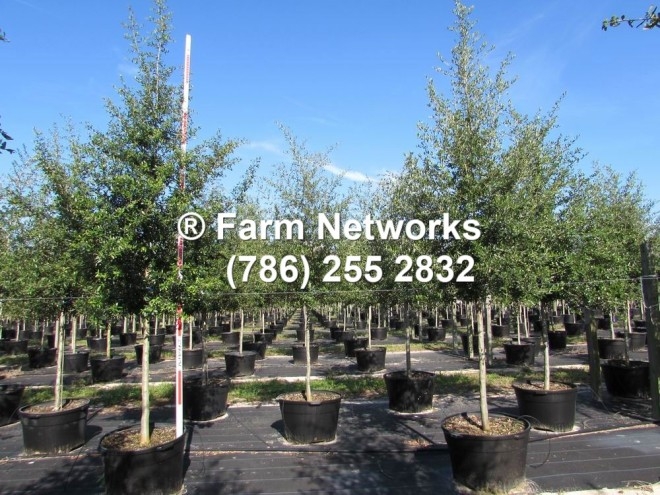Homestead Nurseries,live-oak-southern-oak-tree