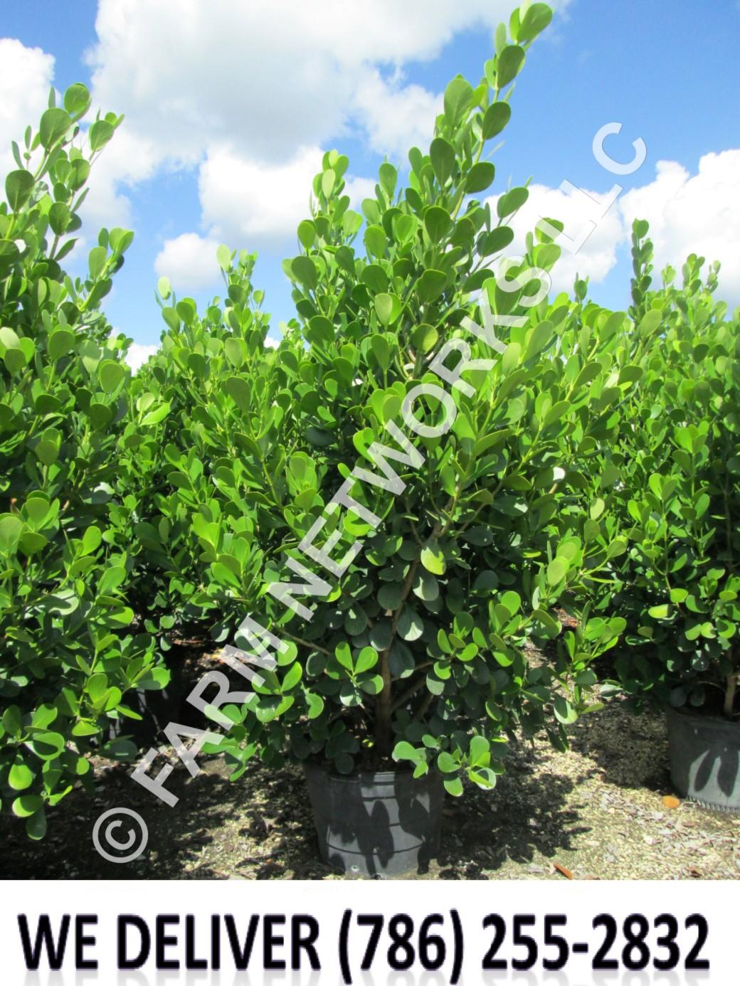 Jupiter-Clusia Plant Nursery
