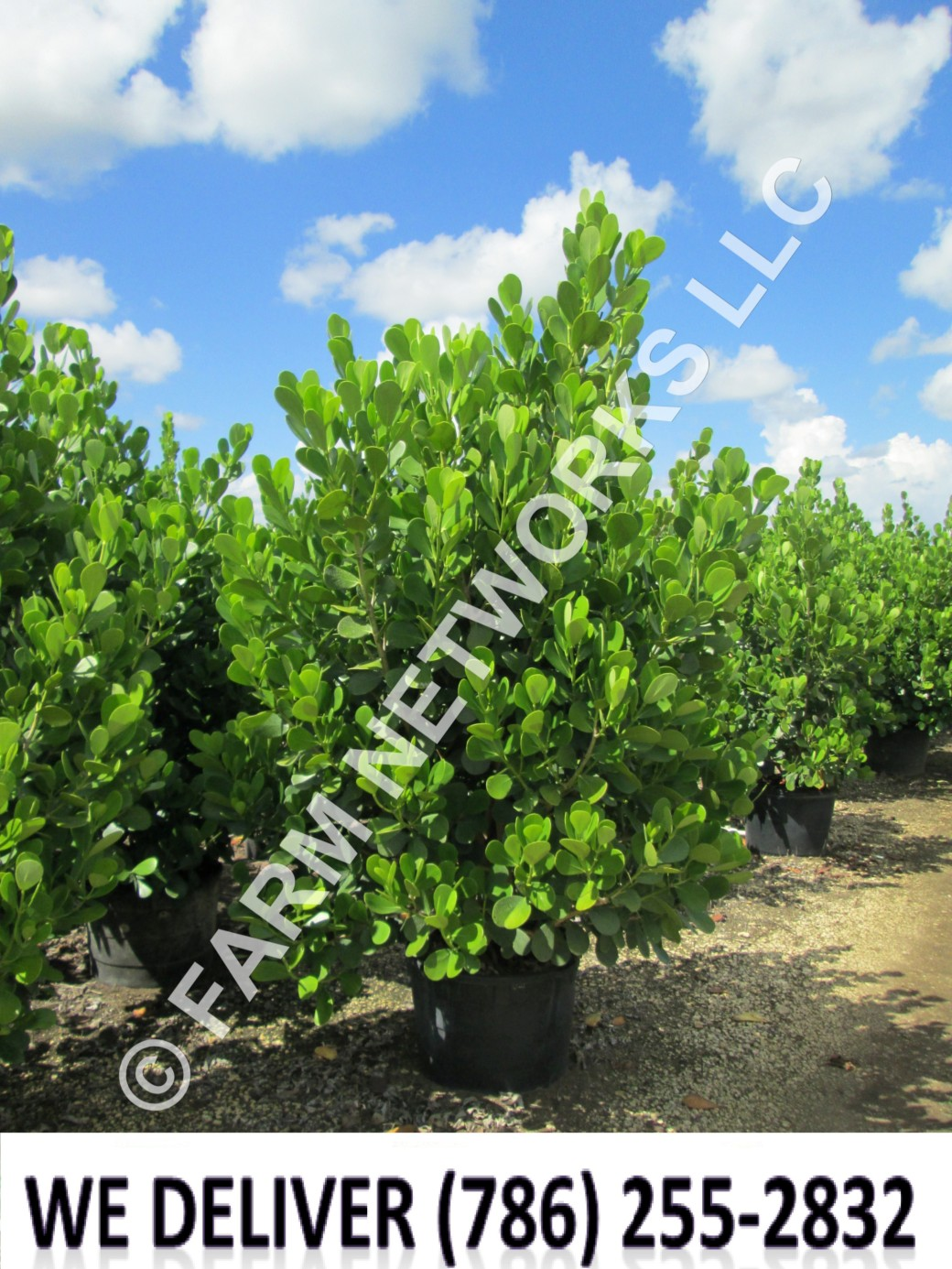 Plant City-Clusia Plant Nursery