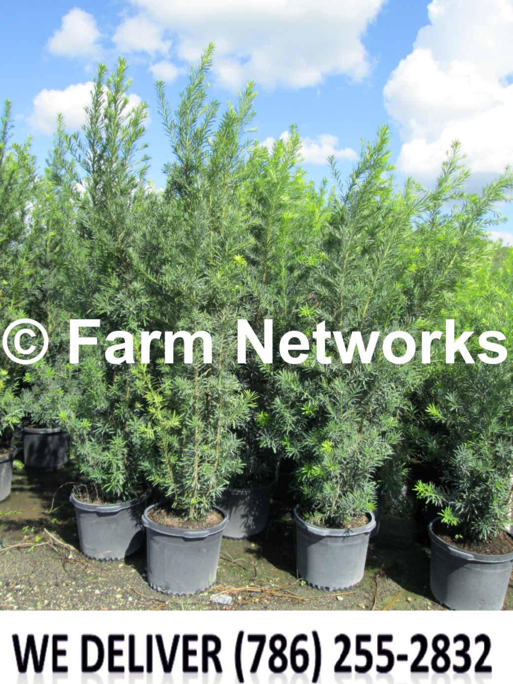 Podocarpus for Sale-Broward