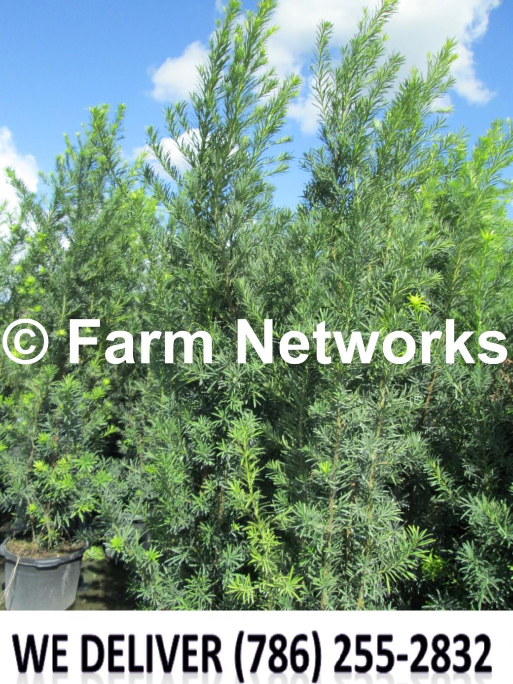 Podocarpus for Sale-Coral Springs