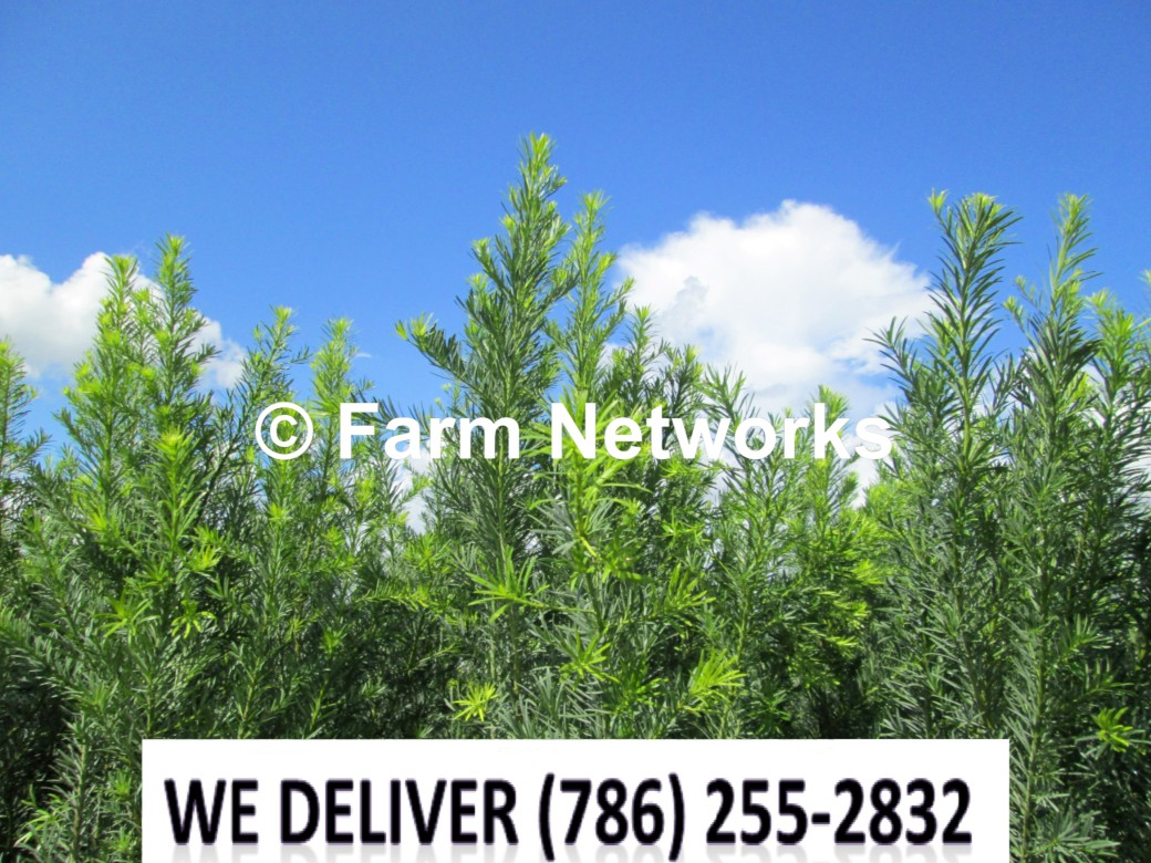 Podocarpus for Sale-Fort Lauderdale