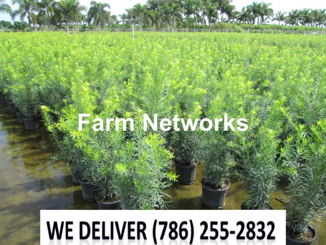 Podocarpus for Sale-Homestead