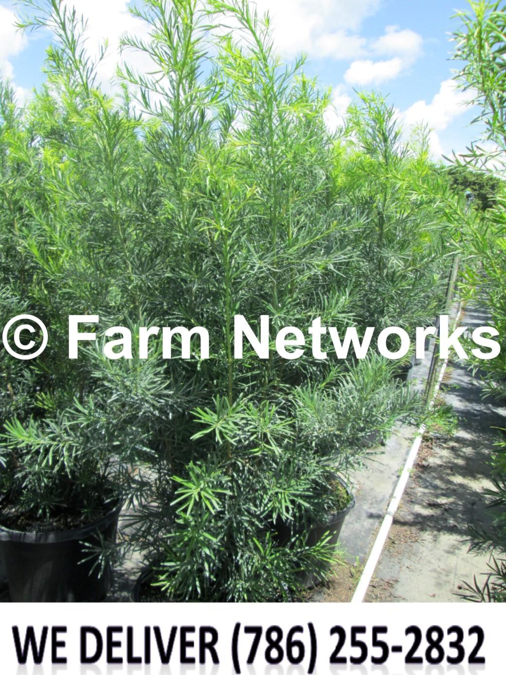 Podocarpus for Sale-Miami Beach
