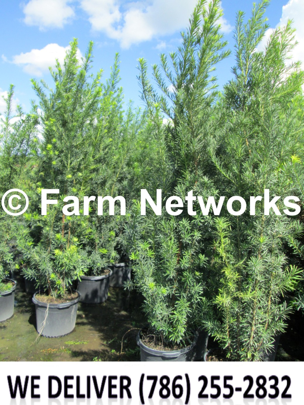 Podocarpus for Sale-Miami