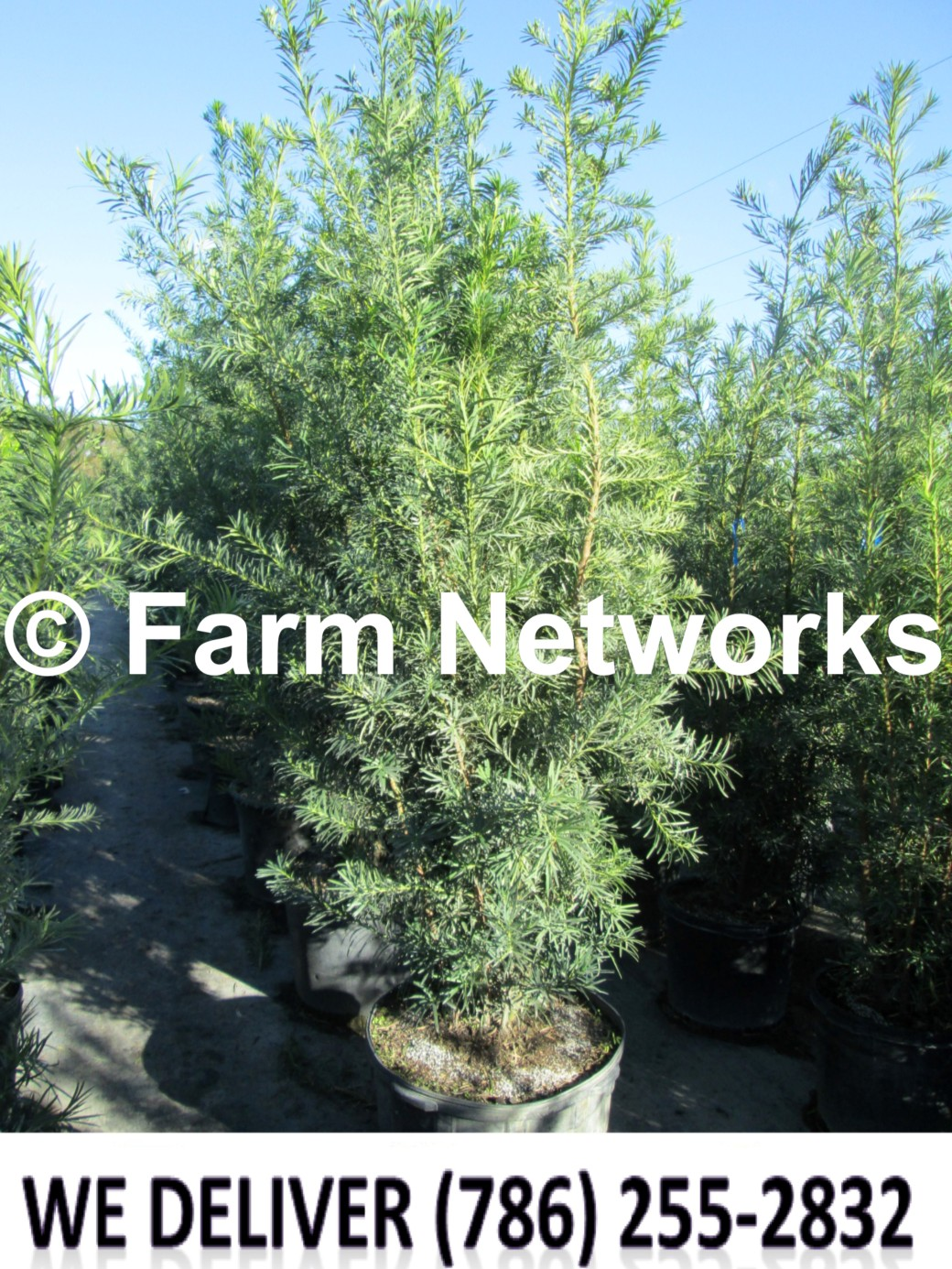 Podocarpus for Sale-Palm Beach
