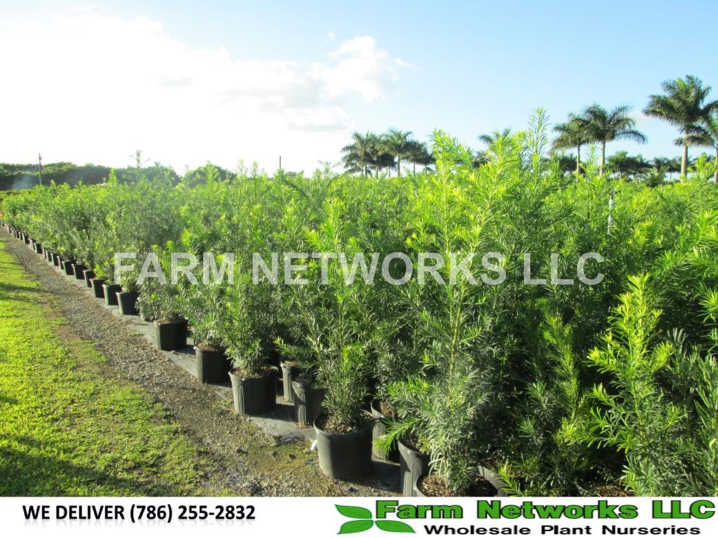 Podocarpus for Sale-West Palm Beach